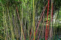 France, Manche (50), Saint-Germain-des-Vaux, Jardin en Hommage à Jacques Prévert, bambous peints