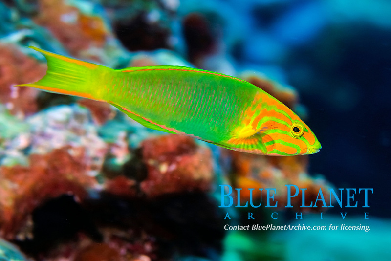 Sunset wrasse, Thalassoma lutescens, initial phase, Pohnpei, Federated States of Micronesia