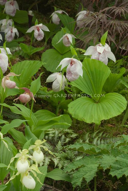 Cypripedium Michael with Cypripedium formosanum ladyslipper orchids & C. ventricosum 'Album'