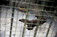 An injured black panther lays on the cement floor of its cage in the Qingdao Zoo in Qingdao, Shandong, China.