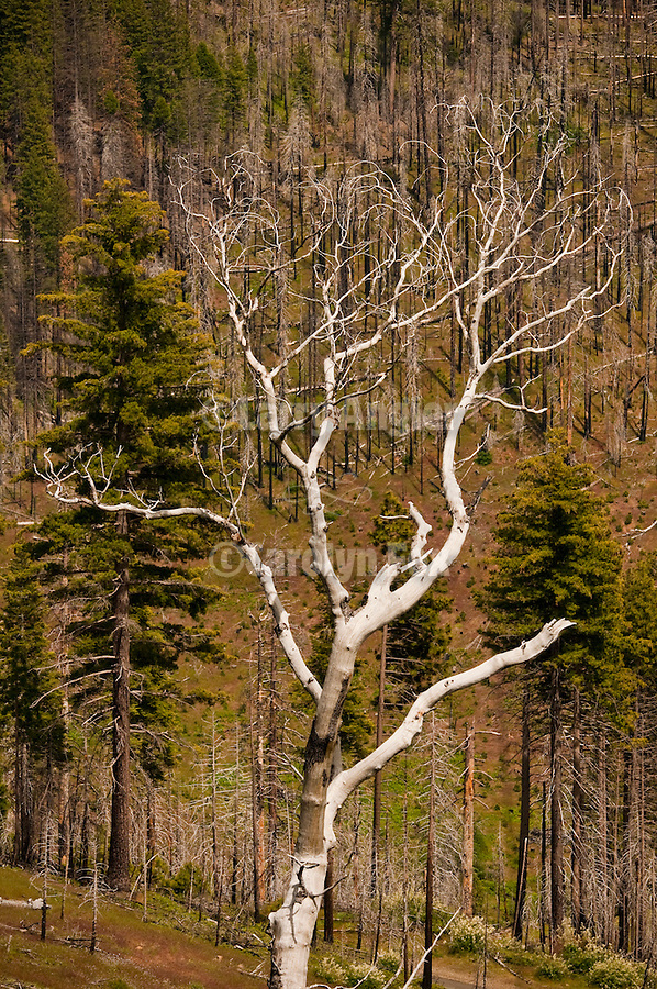 Bleached burned trees in the Power Fire Burn, Beaver Ridge, El Dorado National Forest.