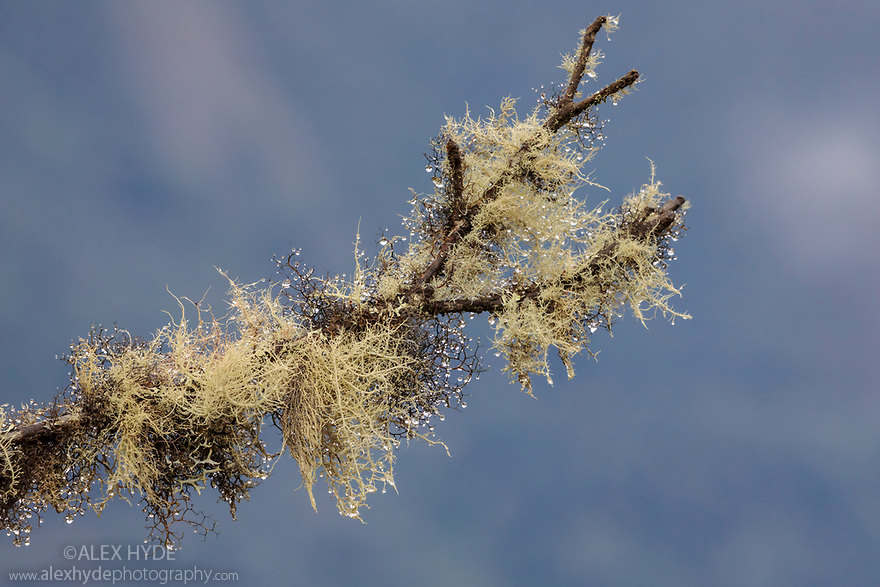 Lichens covering tree branches, Manu Cloud forest at 3500 metres altitude, Acjanaco Pass Peru. November.