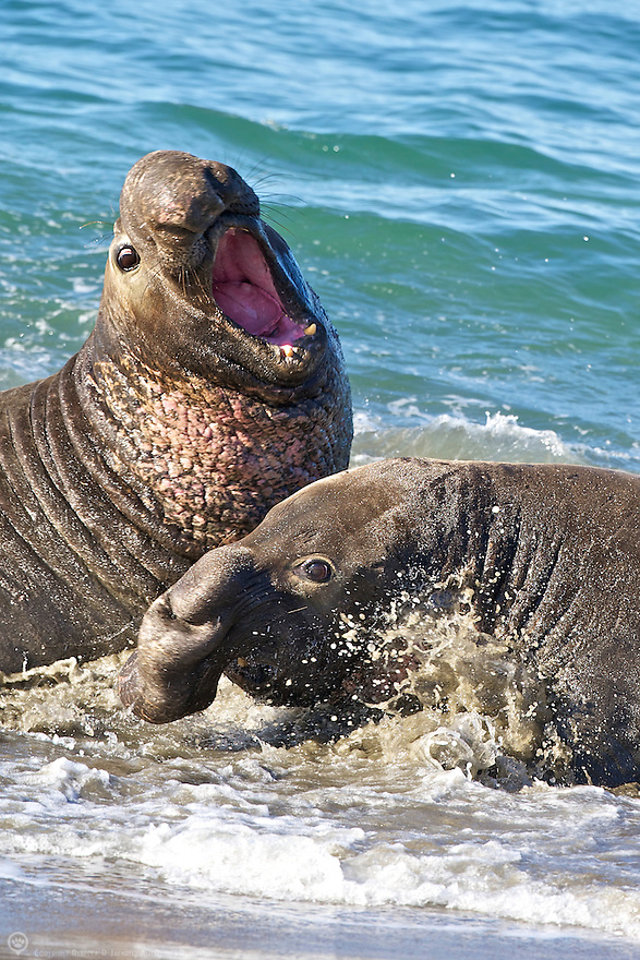 Two Northern Elephant Seals battle to decide who will be king of the beach.