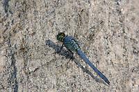 Eastern Pondhawk (Erythemis simplicicollis) Dragonfly - Male, Rockefeller State Park Preserve, Potanico Hills, Westchester County, New York