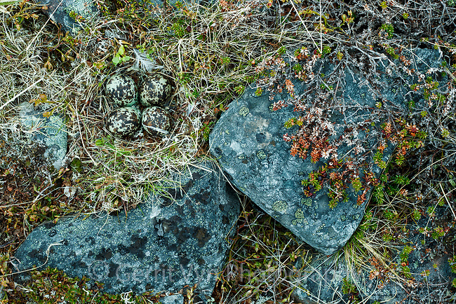 European Golden Plover (Pluvialis apricaria) nest and eggs. Norway. June.