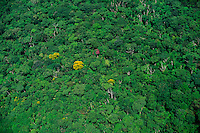 Trees with yellow flowers at ecotone transition between rainforest and scrubland Guyana Highlands Venezuela.