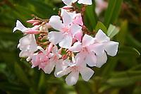 Pink Nerium oleander, Syros Greece