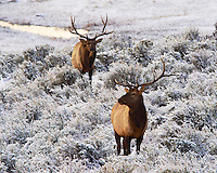 Bachelor bull elk in open sage on cold winter morning.  The lead bull's left antler is snapped off near the base - the likely result of a battle for dominance during the fall rut.