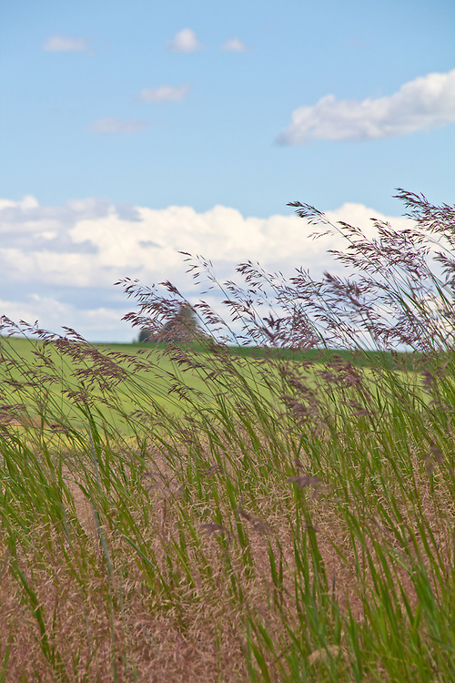 Palouse, wheat fields, field side weeds, State Route 27, Whitman County, Eastern Washington, Washington State, Pacific Northwest, United States,