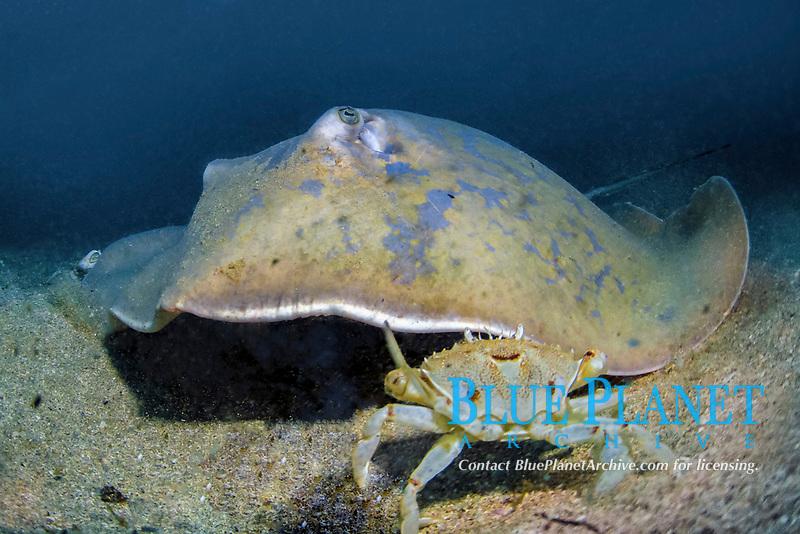 blue stingray, Dasyatis chrysonota, Wild Coast, South Africa, Indian Ocean