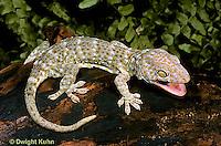 GK20-001x  Tokay Gecko - adult from south east Asia -  Gekko gecko