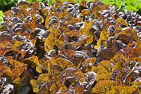Backlit pretty rows of leaf vegetable crop Lettuces Little Leprachaun growing in garden in rows, cos romaine