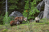 Grizzly bear sow with cubs (Ursus arctos), Northern Rockies.