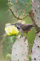 Cactus Wren (Campylorhynchus brunneicapillus), adult on Texas Prickly Pear Cactus (Opuntia lindheimeri), Rio Grande Valley, Texas, USA
