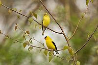 American goldfinches (Spinus tristis) male and female.  Great Lakes Region.  May.