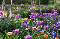 Mauve purple tulips flowering in mixed bed with calendula in Norfolk Botanical Garden