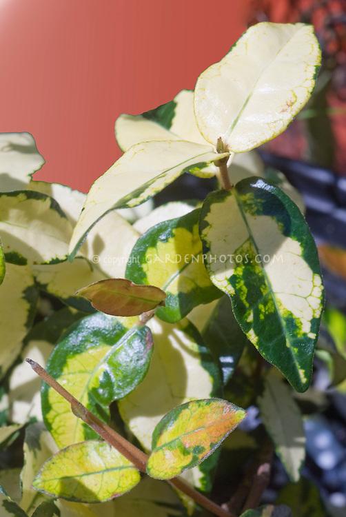 Japanese star jasmine, variegated Trachelospermum asiaticum Ogon Nishiki foliage in cream, yellow, green closeup