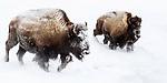 Female American bison (Bison bison) with older calf running through deep snow. Hayden Valley. Yellowstone National Park, Wyoming, USA.