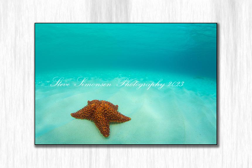 Starfish Solo<br /> Pincushion starfish