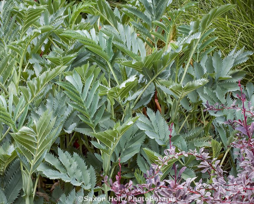 Compound pinnate leaf foliage of Melianthus major-Honey Bush in foliage garden with 'Silver Mile' Berberis