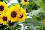 Europa, DEU, Deutschland, Baden-Wuerttemberg, Landkreis Schwaebisch Hall, Mainhardt, Sonnenblume (Helianthus annuus), auch Gewoehnliche Sonnenblume, Bluete, Bluetenkorb, Natur, Umwelt, Pflanzen, Pflanzenkunde, Botanik, Biologie, <br /> <br /> [Fuer die Nutzung gelten die jeweils gueltigen Allgemeinen Liefer-und Geschaeftsbedingungen. Nutzung nur gegen Verwendungsmeldung und Nachweis. Download der AGB unter http://www.image-box.com oder werden auf Anfrage zugesendet. Freigabe ist vorher erforderlich. Jede Nutzung des Fotos ist honorarpflichtig gemaess derzeit gueltiger MFM Liste - Kontakt, Uwe Schmid-Fotografie, Duisburg, Tel. (+49).2065.677997, ..archiv@image-box.com, www.image-box.com]