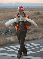 A confiscated ivory tusk, part of a haul estimated by US wildlife officials to be from around 2,000 elephants, are seen at the National Wildlife Property Repository, 13 November 2013, Denver, Colorado, United States, 14 November 2013. The United States Fish and Wildlife Service is set to destroy their entire stockpile of seized ivory dating back to the 1980's by using a rock crushing machine to send a strong signal to poachers in Africa, and consumers in Asia and the United States, that the US government will not tolerate ivory trafficking. Elephant populations are in steep decline due to poaching and rampant demand, mostly from China, but also the US. The US confiscated ivory destruction follows similar symbolic events in the Gabon, Kenya and Philippines.