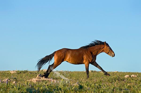 Mustang or Wild Horse stallion (Equus ferus caballus) running across alpine meadow.  Western U.S., summer.