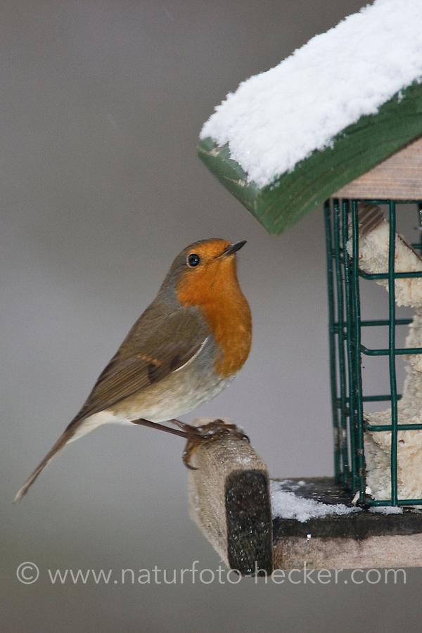 Rotkehlchen, an der Vogelfütterung, Fütterung im Winter bei Schnee, an Häuschen mit Fettfutter, Energiekuchen, Winterfütterung, Erithacus rubecula, robin