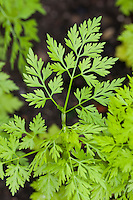 Hundspetersilie, Hunds-Petersilie, Blatt, Blätter vor der Blüte, Aethusa cynapium, Fool's parsley, fool's cicely, poison parsley, dog poison