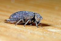 Gescheckter Nagekäfer, Bunter Pochkäfer, Bunter Nagekäfer, Totenuhr, Xestobium rufovillosum, Deathwatch beetle, common death watch beetle, Knock Beetle, Anobiidae, Ptinidae, woodboring beetles, Pochkäfer