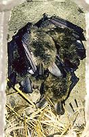 Bechsteinfledermaus, Bechstein-Fledermaus, in Nistkasten, Fledermauskasten, Myotis bechsteinii, Bechstein's bat, Le Vespertilion de Bechstein