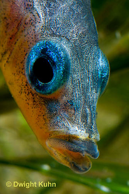 1S14-789z   Male Threespine Stickleback, Mating colors showing bright red belly and blue eyes, close-up of face, Gasterosteus aculeatus,  Hotel Lake British Columbia.