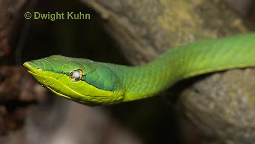 1R23-503z Green vine snake, Oxybelis fulgidus, Amazon vine snake
