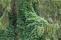 Hopfen, klimpt in einem NAdelbaum empor, Gewöhnlicher Hopfen, Echter Hopfen, Humulus lupulus, Common Hop, Hop, hops, Le Houblon, Le houblon grimpant