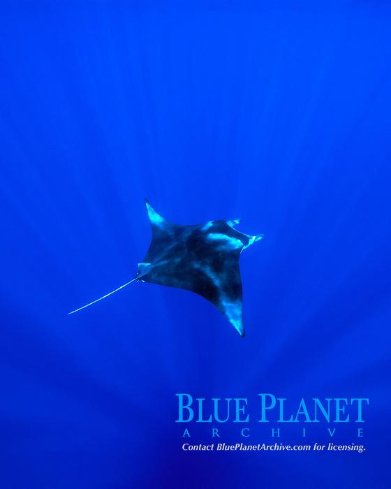 reef manta ray, Mobula alfredi, Kona, Big Island, Hawaii, Pacific Ocean