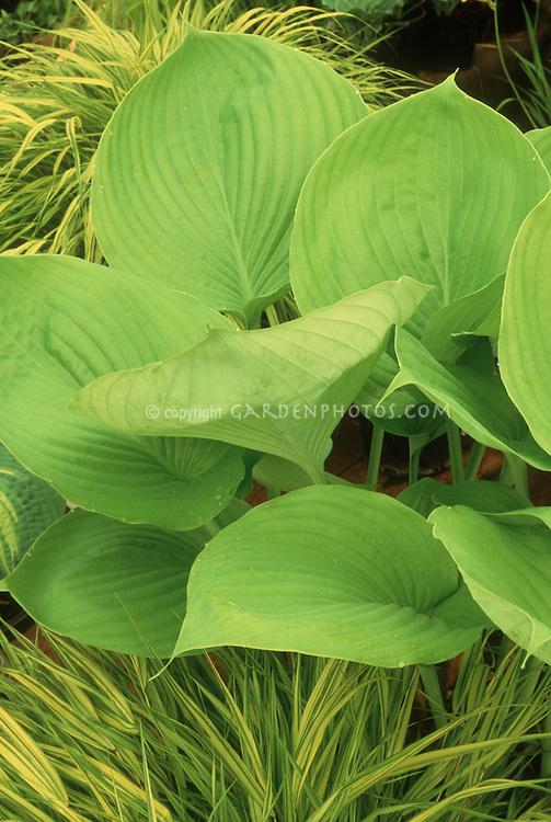 Gold & Green Garden Hosta 'Sum & Substance' & Hakonechloa grass in stunning color harmony
