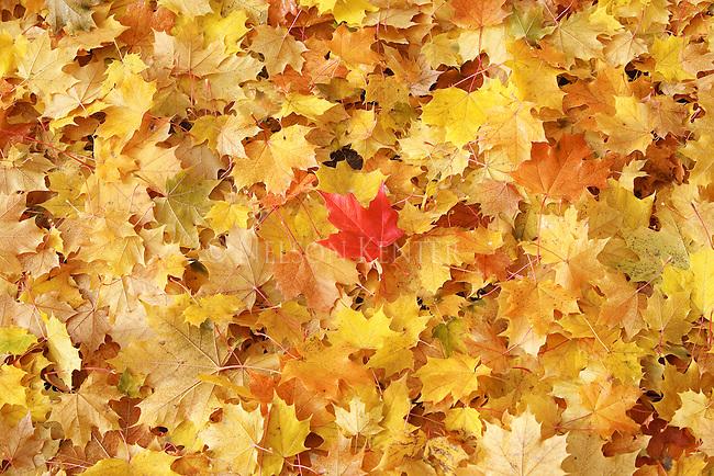 Freshly fallen maple tree leaves