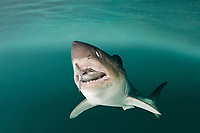 salmon shark, Lamna ditropis (c), with salmon in mouth, Prince William Sound, Alaska, USA, (dm); this apex predator, sometimes called the Pacific Ocean porbeagle, is a mackerel shark in the order Lamniformes; it swims in cold water, but is warm-blooded (homeothermic)
