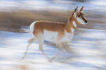 Pronghorn Antelope (Antilocapra americana) female running in winter, Gardiner, Yellowstone National Park, Montana