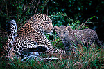Pictured:  Sequence 6 of 8:  The cub having shaken off the rain goes off to mum for a cuddle<br /> <br /> A leopard cub shakes the rain off its fur before cuddling up to its mother.  The newborn sent raindrops flying as it shook its head from side to side on a tree branch.<br /> <br /> The cub appeared energised by the rain and encouraged his reluctant mother to play.  These photographs were taken at the Masai Mara National Reserve in Kenya by wildlife photographer Leighton Lum.  SEE OUR COPY FOR DETAILS.<br /> <br /> Please byline: Leighton Lum/Solent News<br /> <br /> © Leighton Lum/Solent News & Photo Agency<br /> UK +44 (0) 2380 458800