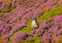 Heather and Swaledale ewe in Trough of Bowland, Lancashire.
