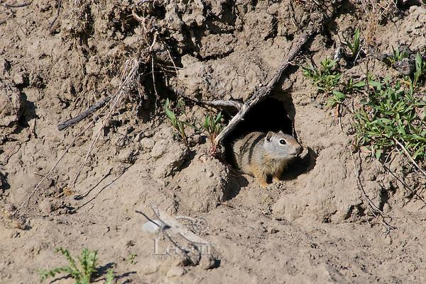Uinta Ground Squirrel (Spermophilus armatus), Western U.S..