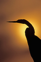 Anhinga, Anhinga anhinga, adult at sunset, Welder Wildlife Refuge, Sinton, Texas, USA
