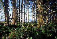Sitka Spruce forest. Pacific Rim National Park