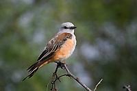 Immature Scissor-tailed Flycatcher, San Angelo State Park