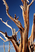 Bristlecone pine, Inyo National Forest, White Mountains, California, USA