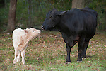 Brazoria County, Damon, Texas; a black mother cow and her newborn white calf in the pasture