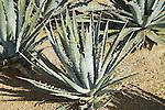 AGAVE LECHUGUILLA, CENTURY PLANT
