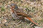Fox Sparrow, Passerella ilaca