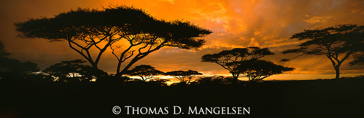 Stately acacias silhouetted by a breathtaking East African sunrise in Serengeti National Park, Tanzania.